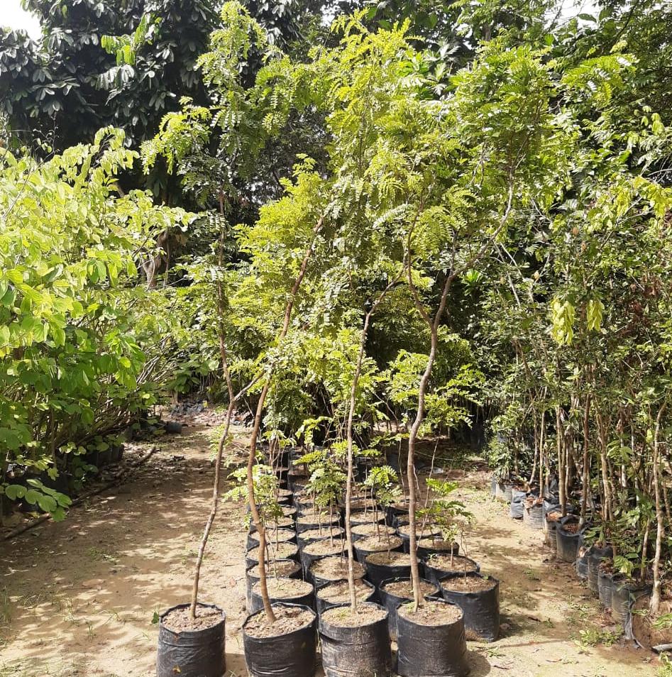 Complexo viário receberá o plantio de mudas de pau-brasil