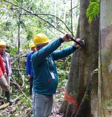 Manejo florestal: Governo do Amazonas publica decreto para incentivar o uso sustentável de madeira legalizada