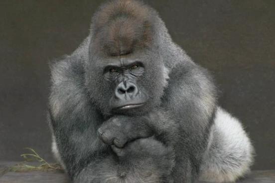 Com transmissão humana, gorilas contraem Covid-19 em zoológico dos EUA